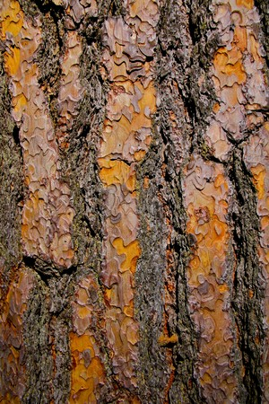 Textured pine tree bark in Yosemite valley Stock Photo