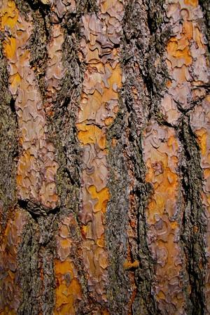 Textured pine tree bark in Yosemite valley Stock Photo