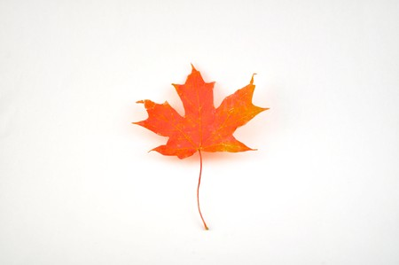 A single autumn maple leaf on a white background