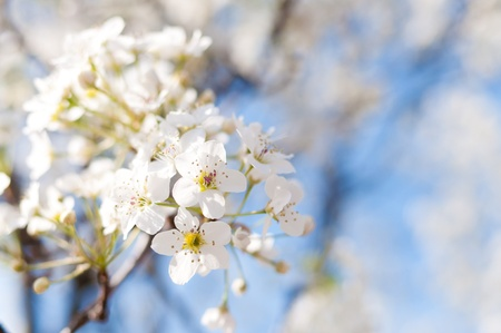 White flowers in bloom on Bradford Pear tree
