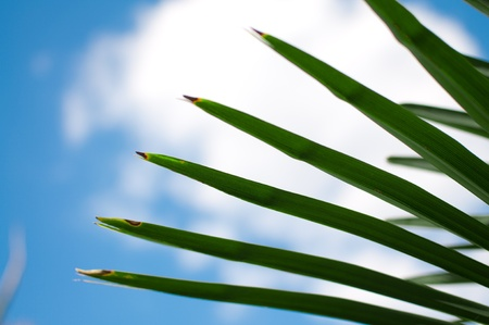 Palm leaf with cloud and blue sky in background Stock Photo
