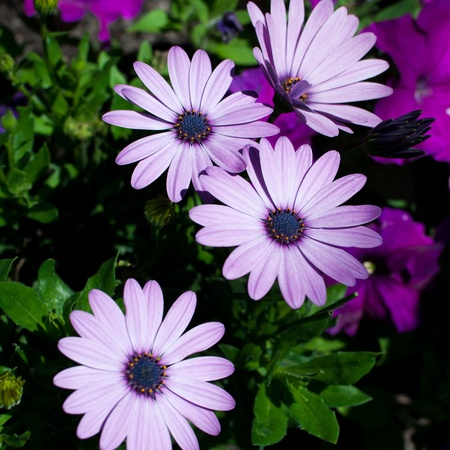Purple daisies with lush green background