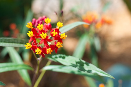 Red and yellow milkweed (Ascelepias tuberosa) flowers growing in a butterfly garden