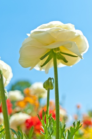 White ranunculus with the sky in the background