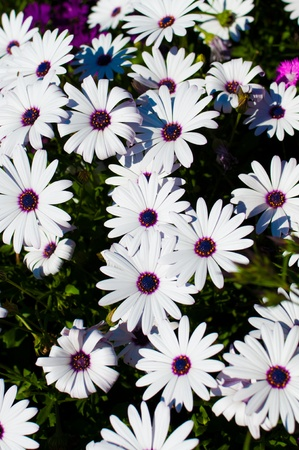 White daisies with lush green background