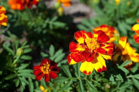 Red, yellow and orange marigold in a botanical garden