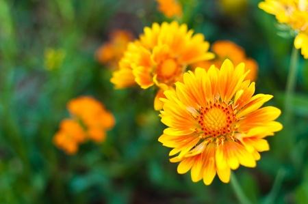 Macro shot of vibrant orange and yellow daisy
