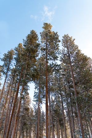 Tall pine trees covered in snow on a cold winter day