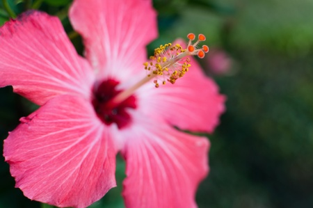 Vibrant, pink hibiscus with tropical background Stock Photo - 9233199