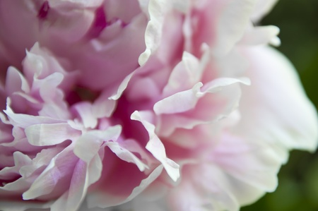 Up close shot of a pink peony in bloom Stock Photo