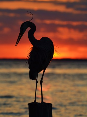 Heron Silhouette photo