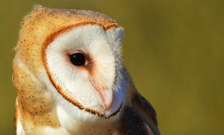 Barn Owl 版權商用圖片