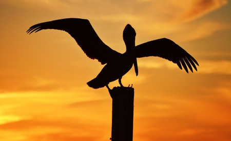 Pelican Silhouette Banco de Imagens - 27366029