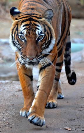 stalking: Tiger Stalking