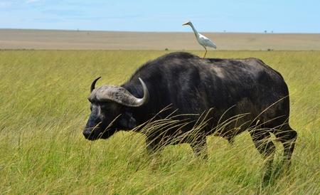 Búfalo del Cabo y Egret