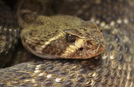 serpiente de cascabel: Diamondback Rattlesnake