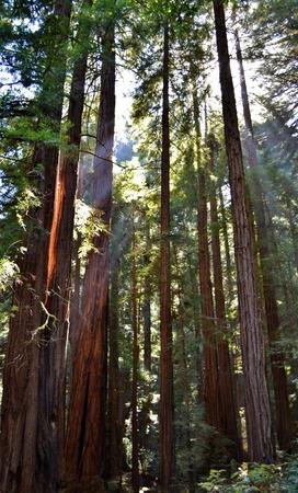 muir: Muir Woods National Park Stock Photo