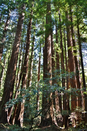 muir: Redwoods in Muir Woods National Park Stock Photo