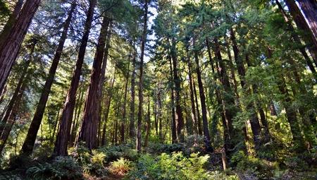 muir: Muir Woods in Northern California Stock Photo