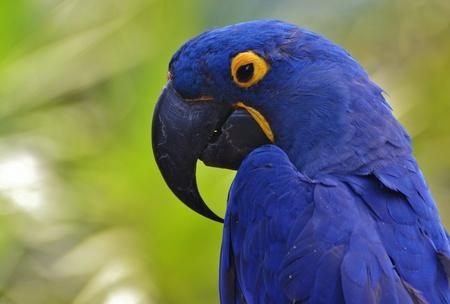 hyacinth: Hyacinth Macaw