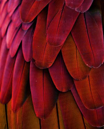 pluma: Las plumas de color rojo del loro Foto de archivo
