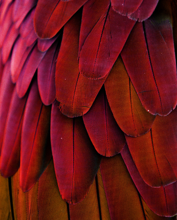 feather: Red Parrot Feathers