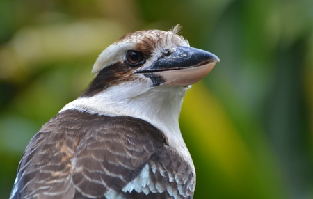 australia jungle: Kookaburra in a Forest