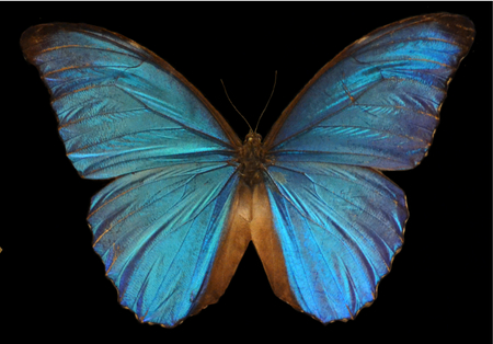 irridescent: Blue Morpho Butterfly Stock Photo
