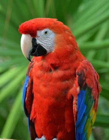 guacamaya: Guacamaya roja