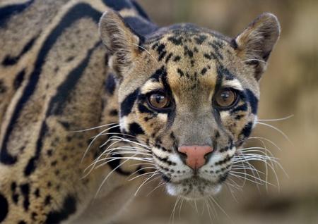 clouded: Clouded Leopard