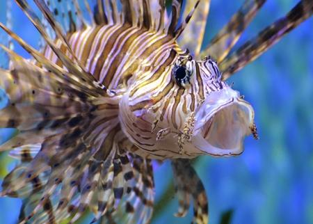 scorpionfish: Lionfish  Scorpionfish