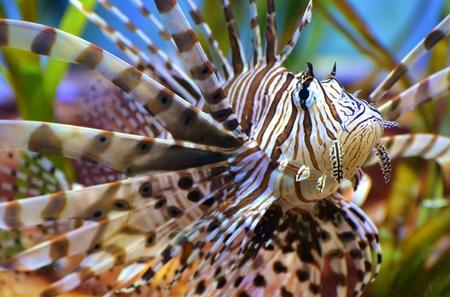 Lionfish  Scorpionfish