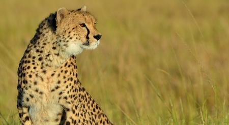 the mara: Cheetah in the Masai Mara
