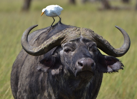symbiosis: Cape Buffalo and Egret