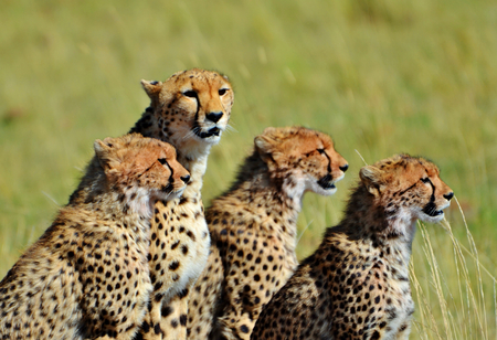 masai mara: Family of Cheetahs in the Masai Mara