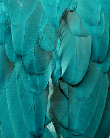 Turquoise  Teal Macaw Feathers Stock Photo
