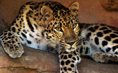 amur: Amur Leopard (Panthera pardus orientalis)
