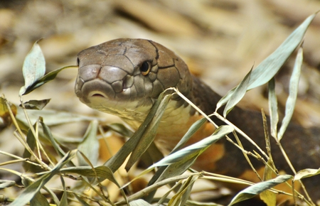 King Cobra (Ophiophagus hannah) Stock Photo