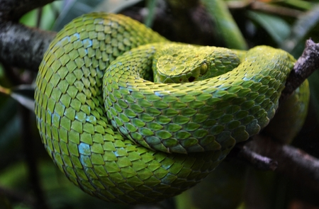Mexican Palm Pit Viper - Rowley's Palm Pit Viper (Bothriechis rowleyi) Stock Photo