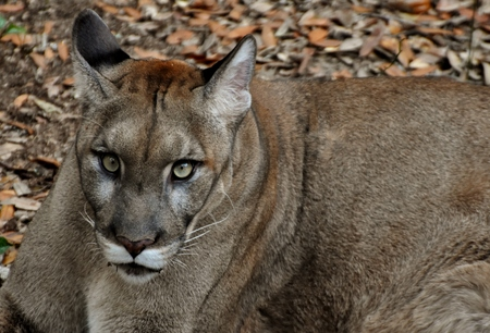 An endangered Florida Panther