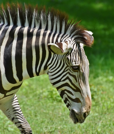 An African Zebra (Equus quagga)