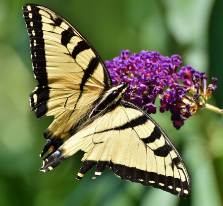 The Eastern Tiger Swallowtail Butterfly (Papilio glaucus) pollinates a purple flower. Banco de Imagens