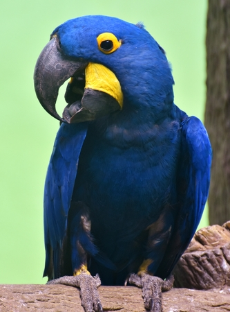 Hyacinth macaw (Anodorhynchus hyacinthinus), or hyacinthine macaw, is a blue parrot native South America's Amazon jungle.