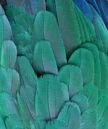 Teal Macaw Parrot Feathers