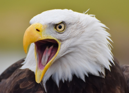 A Bald Eagle (Haliaeetus leucocephalus) screeching with a green forest background. Stok Fotoğraf