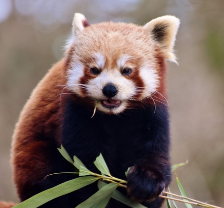 The red panda (Ailurus fulgens), also called the red bear-cat