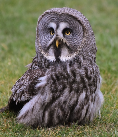 Great Grey Owl in a Field