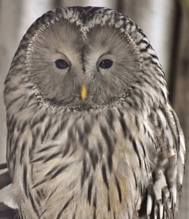 The Ural owl (Strix uralensis) is a medium-sized nocturnal owl found in Europe and northern Asia. Stok Fotoğraf