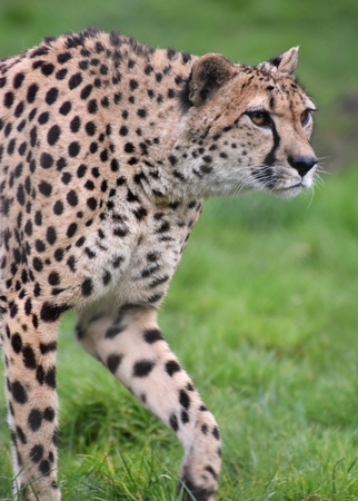 A Cheetah (Acinonyx jubatus), in the Serengeti portion of East Africa.