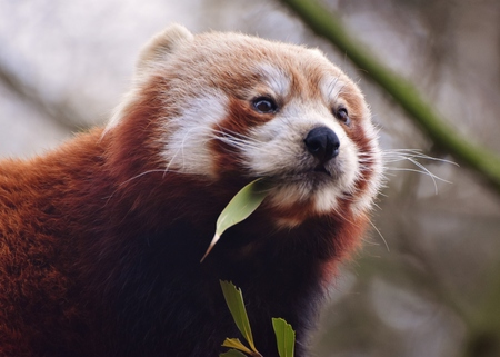 The red panda (Ailurus fulgens), also called the red bear-cat, is a mammal native to the eastern Himalayas and southwestern China.